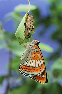 Poplar Admiral butterfly just emerged from chrysalis, Germany. Life cycle sequence 5  -  Hans Christoph Kappel