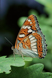 Poplar Admiral butterfly female, Germany. Life cycle sequence 6  -  Hans Christoph Kappel