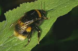Queen Bumblebee (Bombus sp) UK  -  John B Free