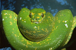 Green tree python (Chondopython viridis) coiled on tree, captive  -  David Welling