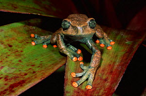 Treefrog on undesrtorey palm frond, River Napo Amazon Basin, Ecuador - Pete Oxford