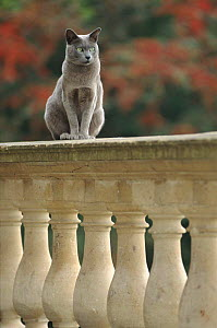 Male Burmese blue cat 'Boris' sitting on balustrade. England (This image may be licensed either as rights managed or royalty free.) - Niall Benvie
