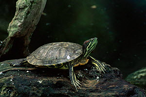 Red eared turtle (Pseudemys scripta elegans) USA. captive, most widely kept pet turtle  -  David Welling
