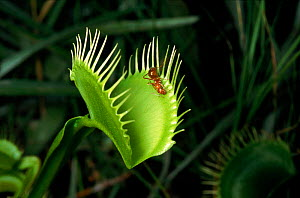 Venus flytrap (insectivorous plant) with ant. Botanical Gardens, North Carolina, USA  -  Neil Lucas
