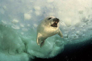 Harp Seal (Pagophilus groenlandica) juvenile under pack ice. Magdalen Islands, Canada - Jurgen Freund