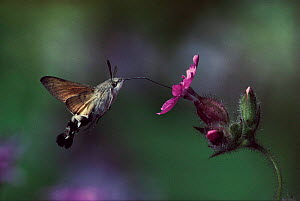 Hummingbird hawkmoth feeding on flower nectar, Germany - Hans Christoph Kappel