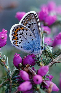 Silver Studded Blue Butterfly on heather (Plebejus argus) England  -  Chris Packham