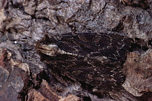 Dark Arches Moth (Apamea monoglypha) camouflaged on bark, Scotland, UK - Duncan Mcewan