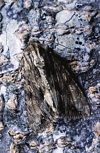 Dark Arches moth camouflaged on bark (Apamea monoglypha) Scotland, UK - Duncan Mcewan
