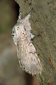 Puss Moth adult insect on bark of tree, Germany  -  Hans Christoph Kappel