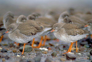 Redshanks (Tringa totanus) flocking to reduce heat loss, Angus, Scotland  -  Niall Benvie