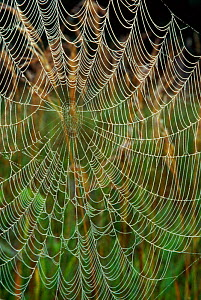 Spider web covered in dew, Wisconsin, USA  -  Larry Michael