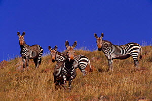 Mountain Zebra  (Equus zebra) Mt Zebra NP South Africa  -  Ron O'Connor