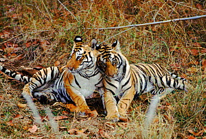 Tiger mother with cub, Bandhavgarh NP, India  -  E.A. KUTTAPAN