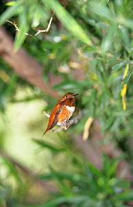 Rufous hummingbird (Selasphorous rufus) male perched, Arizona, USA  -  David Kjaer
