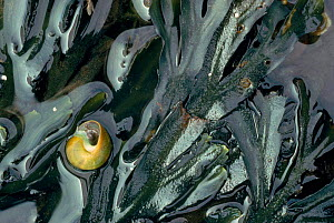 Serrated (Toothed) wrack (Fucus serratus) with marine mollusc (Littorina littoralis) on the seaweed. Scotland, UK, Europe  -  Niall Benvie