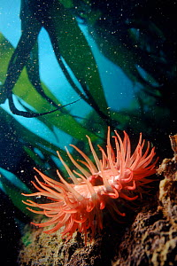 Sea anemone (Actinia equina) in kelp  (Laminaria sp). England, UK, North Atlantic - PETER SCOONES