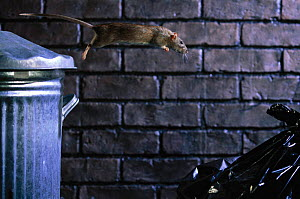Brown Rat jumping from dustbin. (Rattus norvegicus) England - Warwick Sloss
