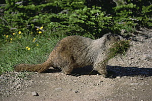 Woodchuck / Hoary Marmot (Marmota monax) carrying grass, USA  -  Lynn M Stone