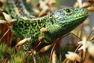 Sand lizard male (Lacerta agilis) UK  -  Chris Packham