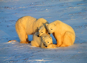 Polar Bear mother and cubs (Ursus maritimus) Churchill,  Manitoba, Canada  -  TOM MANGELSEN