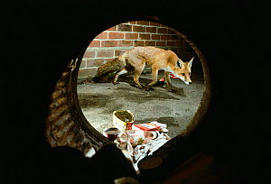 Red Fox taken through a dustbin at night foraging for food (Vulpes vulpes) Southampton, UK  -  Chris Packham