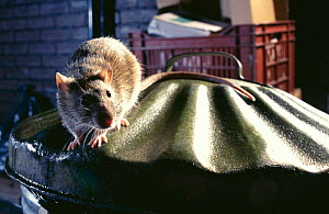 Brown rat (Rattus norvegicus) on dustbin, Europe - Warwick Sloss