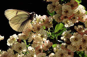 Black Veined White butterfly resting on Hawthorn flowers, UK  -  Chris Packham