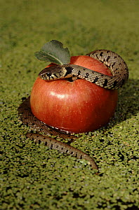 Forbidden fruit - Grass snake coiled over apple.  -  Chris Packham