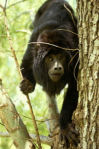 Black howler monkey {Alouatta caraya} Ibera Marshes NR, Argentina  -  Ross Couper-Johnston