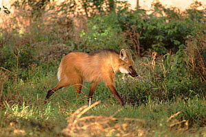 Maned Wolf, Ibera Marshes Nature Reserve, Argentina  -  Ross Couper-Johnston