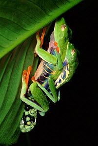 Red Eyed Tree frogs mating, Costa Rica  -  TIM MARTIN