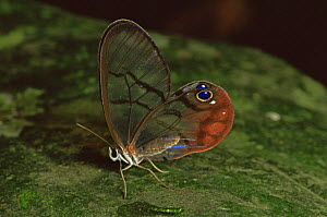 Glass Winged Butterfly (Dulcedo polita) on leaf, Central America - TIM MARTIN