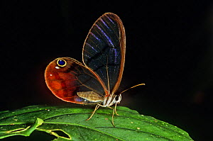 Glass winged butterfly {Dulcedo polita} on leaf, Central America - TIM MARTIN