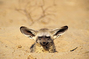Bat Eared Fox emerging from den (Otocyon megalotis) Kalahari Gemsbok NP South Africa - Tony Heald