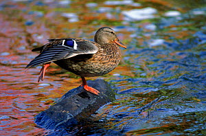 Mallard duck female, USA  -  Larry Michael
