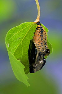 Poplar Admiral butterfly emerging from chrysalis. (Limenitis populi) Sequence (3) life cycle, captive - Hans Christoph Kappel