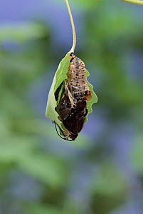 Poplar Admiral emerging from chrysalis. Life cycle sequence 3  -  Hans Christoph Kappel