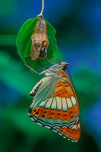 Poplar Admiral butterfly adult just emerged from chrysalis.  -  Hans Christoph Kappel