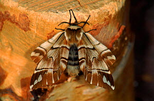 Kentish Glory Moth adult (Life cycle sequence 4) - Hans Christoph Kappel
