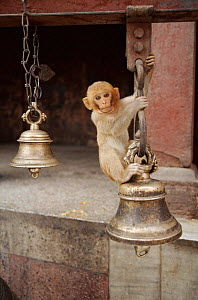 Young rhesus macaque playing on bell in Durga temple, Varanasi, India - John Downer