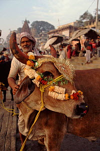 Cattle in market, tolerated because holy animal. India  -  John Downer