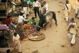 Cattle feeding from stalls in market, India. Cows are tolerated as holy animals. From BBC Lifesense series.  -  John Downer