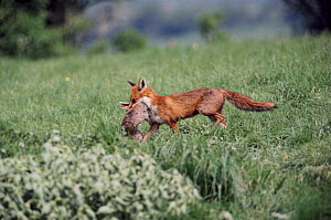 Red fox vixen with rabbit prey, England  -  SIMON KING