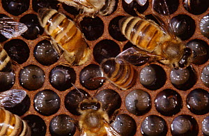 Worker Honey bees (Apis mellifera) on comb feeding larvae in nest, UK  -  John B Free