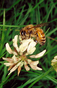 Honey bee (Apis mellifera) foraging for nectar on white clover, UK  -  John B Free