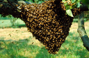 Honey Bee swarm.  -  John B Free