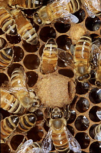 Honey bees around Queen bee cell containing larva. - John B Free