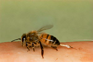 Honey Bee stinging human (Apis mellifera) - John B Free