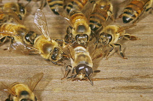 Drone Honey Bee (Apis mellifera) being evicted by workers from hive, UK - John B Free